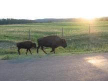 Bisons an der Wildlife Loop Road im Custer SP