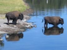 Bisons im Yellowstone NP
