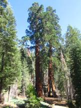 Clothespin Tree, Mariposa Grove, Yosemite NP