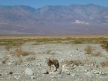 Fuchs an der Badwater Road im Death Valley NP